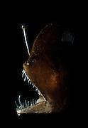"Melanocetidae (Melanocetus murrayi (Murrays abyssal anglerfish)) deep-sea anglerfish - fishing pole with bioluminescent lure used to attract prey. The bioluminescence is produced by symbiotic bacteria; these bacteria are thought to enter the esca via an external duct. [size of single organism: 12 cm]| Dieses ca. 12 cm große Exemplar gehört zu der Gruppe der Tiefseeanglerfische. Die Anglerfische umfassen ca. 160 Arten. Allen gemeinsam ist die ""Angel"", eine durch Millionen von Leuchtbakterien beleuchtete Köderatrappe, die vor dem Maul bewegt werden kann."