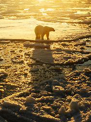 Polar bear (Ursus maritimus) in arctic ice landscape with midnight sun, Nordaustlandet, Svalbard