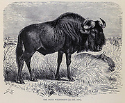 blue wildebeest (Connochaetes taurinus), also called the common wildebeest, white-bearded wildebeest, white-bearded gnu or brindled gnu, is a large antelope and one of the two species of wildebeest. From the book ' Royal Natural History ' Volume 2 Edited by Richard Lydekker, Published in London by Frederick Warne & Co in 1893-1894