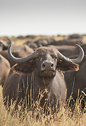 Nature photograph of a single wildebeest looking at the camera from among the herd, Serengeti National Park, Tanzania