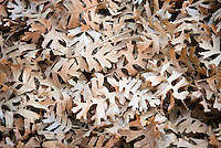 Fallen Gambel Oak leaves collected in wash,  Zion National Park Utah USA