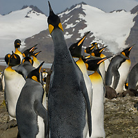 A King Penguin calls for its chick in a huge rookery at Salisbury Plain, South Georgia, Antarctica.