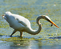 Great Egret (Ardea alba) with a fish for lunch. Sourland Mountain Preserve. Image taken with a Nikon D4 camera and 600 mm f/2.8 lens.
