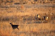 Mule deer buck watching a whitetail doe walk by in some prairie habitat