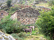 Cows graze at an Invernales (early winter sheds for the cows), up from Beges in the eastern part of the Picos de Europa