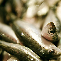 Chioggia, Venetian Lagoon, Italy 30 June 2009<br /> Sardines in the fish market.<br /> PHOTO: EZEQUIEL SCAGNETTI