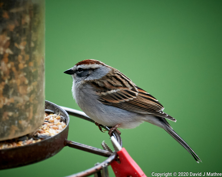 Chipping Sparrow. Image taken with a Nikon D5 camera and 600 mm f/4 VR lens (ISO 900, 600 mm, f/4 1/250 sec)