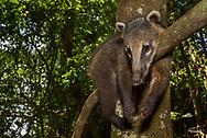 Ein Südamerikanischer Nasenbär (Nasua nasua) ruht im Uferwald auf einem Ast, Iguacu-Fälle, Brasilien<br /> <br /> A South American coati is resting on a branch in the riverine forest, Iguacu falls, Brazil