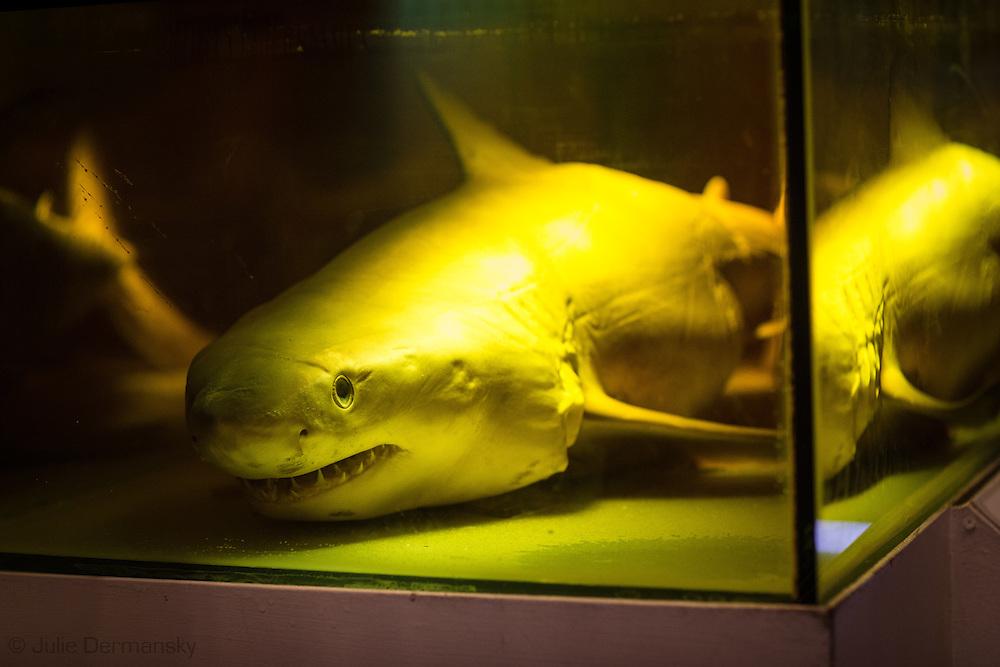 A preserved shark on display at the Cabrillo Marine Aqurium in San Pedro, CA.