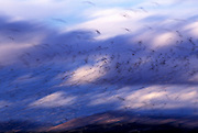 Image of a flock of birds flying at dusk, Klamath National Wildlife Refuge, California, America west coast by Randy Wells