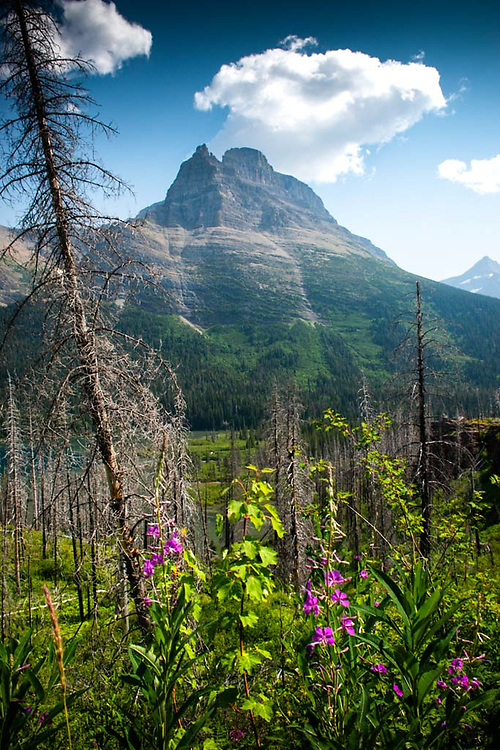 Reynolds Mountain and Fireweed in Burned Over Forest, Glacier National Park, Montana, US