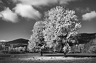 Two trees in autumn, Battlefield Park, Lake George, Adirondack Mountains, New York, USA