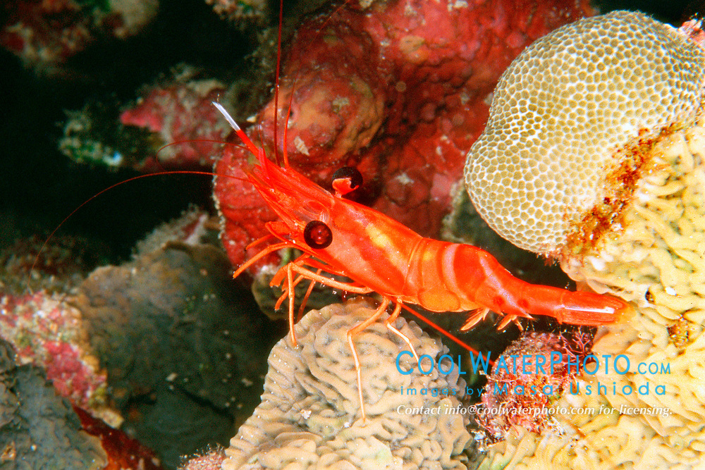uniform hinge-beak shrimp, Cinetorhynchus concolor, Kona, Big Island, Hawaii, Pacific Ocean