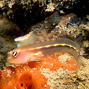 Hornless Blenny inhabit reefs and areas of rocky rubble in coastal Venezuela; picture taken Margareta Is, Venezuela.