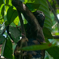 A captive Brown-Throated Sloth feeds in a tree near Iquitos, Peru.