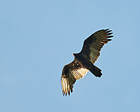 Turkey Vulture in flight. Image taken with a Nikon D700 camera and 28-300 mm VR lens.