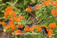03004-01403 Pipevine Swallowtails (Battus philenor) on Butterfly Milkweed (Asclepias tuberosa) Reynolds Co., MO