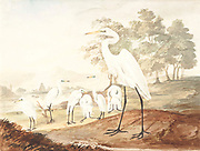 The intermediate egret, median egret, smaller egret, or yellow-billed egret (Ardea intermedia syn Egretta intermedia) is a medium-sized heron. It is a resident breeder from east Africa across the Indian subcontinent to Southeast Asia and Australia. 18th century watercolor painting by Elizabeth Gwillim. Lady Elizabeth Symonds Gwillim (21 April 1763 – 21 December 1807) was an artist married to Sir Henry Gwillim, Puisne Judge at the Madras high court until 1808. Lady Gwillim painted a series of about 200 watercolours of Indian birds. Produced about 20 years before John James Audubon, her work has been acclaimed for its accuracy and natural postures as they were drawn from observations of the birds in life. She also painted fishes and flowers. McGill University Library and Archives