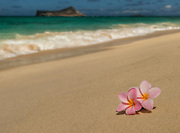 Two pink plumeria on a Hawaiian beach with sand and surf. Rabbit Island is in the background.