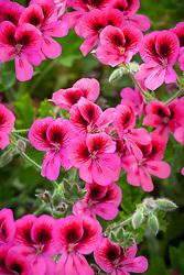 Pelargonium 'Pink Aurore'
