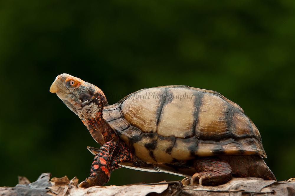 Mexican Box Turtle (Terrapene carolina mexicana)<br /> CAPTIVE<br /> MEXICO<br /> HABITAT & RANGE: