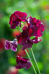 Lathyrus odoratus 'Pip's Maroon'. Sweet pea