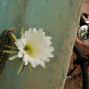 Night-blooming cereus fails to get the memo about only being out after dark. We're well past 8 a.m., and if this isn't a bike-tographic opportunity, I don't know what is. Bike-tography by Martha Retallick.