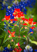 Bluebonnets and paintbrush wildflowers near Fredericksburg in the Texas Hill Country