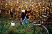 In a field at the town of Boofzheim in the eastern French Alsace region, an elderly Frenchman harvests some of his self-grown carrots crop. Having left his old bicycle standing at the kerb of a narrow access road and in front of a field full of maturing maize, he bends down with much effort to dig in his fork or spade into the rich Alsace earth and lift out his vegetables to take home. This landscape is typically French or German (Alsace borders the western side of Germany and saw much tragic action in WW2) where maize is a nutritious foodstuff for cattle and also for ducks and geese who are force-fed it locally in the making of fois gras and pate.