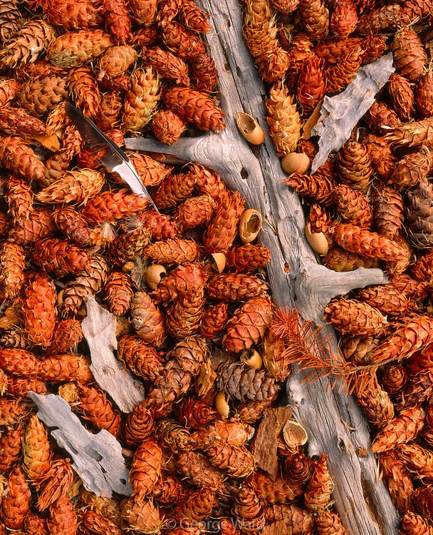 Feather and Acorns Dropped by Acorn Woodpeckeron Douglas-fir Cones, Phillip Burton Wilderness,Point Reyes National Seashore, California