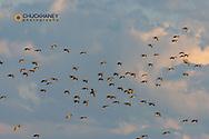 Mallard Ducks in flight in the Flathead Valley, Montana, USA