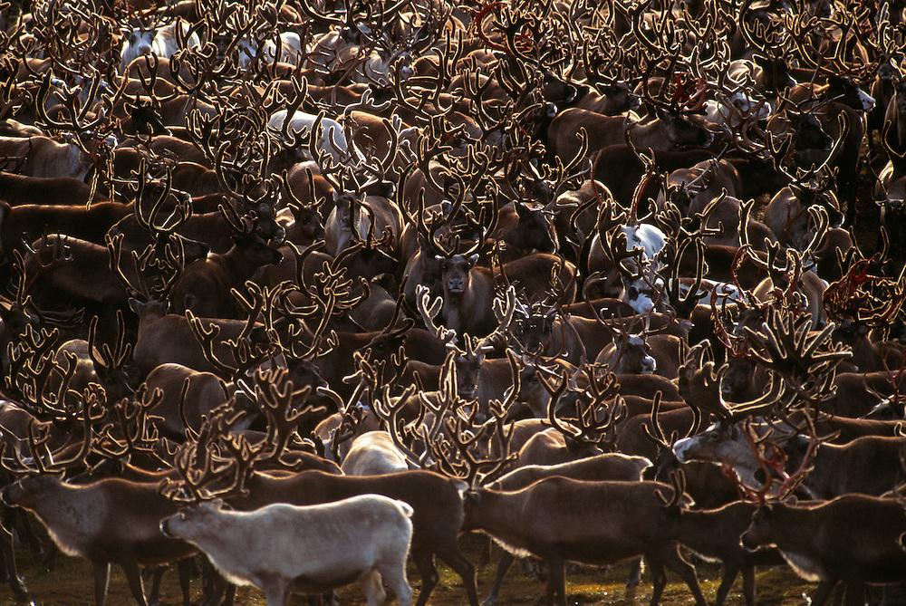 Reindeer herd, Rangifer tarandus, Chukotka, Siberia, Russia