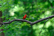 Photo of a male Northern Cardinal in the summer.