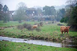 © Licensed to London News Pictures. 01/03/2019. Eynsford, Longhorn cattle along the river Darent in Eynsford, A dull grey day today in Kent as the recent sunny weather is replace with cloud and mist.Photo credit: Grant Falvey/LNP