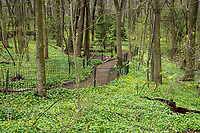 A path through a tapestry of lesser celandine flowers in the North Woods of central Park