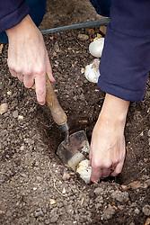 Planting allium bulbs - showing planting depth