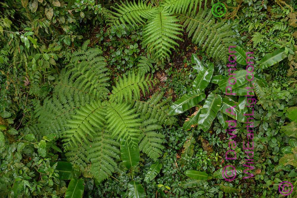 View looking down on cloud forest with tropical foliage growing on the forest floor in a gap in the trees, Monteverde Cloud Forest Reserve, © David A. Ponton