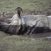 An endangered Asian one-horned rhinoceros relaxes in a pool in Royal Chitwan National Park, Nepal.