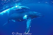 humpback whale and calf, Megaptera novaeangliae, Tonga, South Pacific