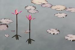 Water Lily, magenta #1horiz