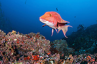 A Mexican Hogfish hams it up for the camera<br /> <br /> <br /> Shot at Cocos Island, Costa Rica