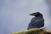 Raven (corvus corax) at Hag's Head on the Cliffs of Moher, Co. Clare, Ireland..