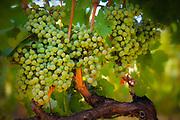 Grapes at Benson Winery, Chelan, Washington