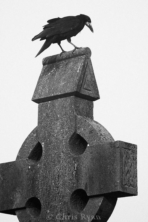 Crow and celtic cross, County Limerick, Ireland