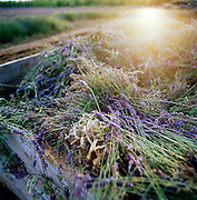 Harvested lavendar from a farm in the English countryside, UK