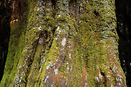 Old majestic but logged Taiwan Cypress tree stumps, Chamaecyparis formosensis. Endemic.  Alishan National Scenic Area, Taiwan