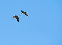 Two Canada Geese, Branta canadensis, fly over Upper Klamath Lake, Oregon