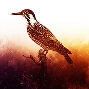 Male Pic à double moustache. [Woodpecker] from the Book Histoire naturelle des oiseaux d'Afrique [Natural History of birds of Africa] Volume 6, by Le Vaillant, Francois, 1753-1824; Publish in Paris by Chez J.J. Fuchs, libraire 1808