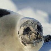 Harp Seal, (Pagophilus groenlandicus) Female on ice pack. Nova Scotia. Canada. Spring.
