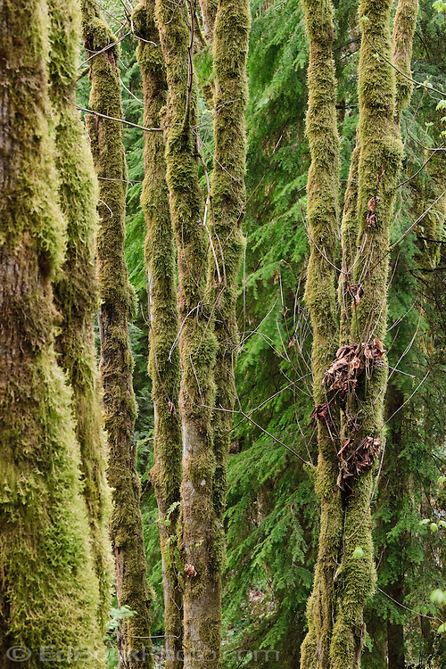 Moss covers Red Alder and Big Leaf Maple tree trunks in a decidious forest on the Kitsap Peninsula in Puget Sound, Washington, USA